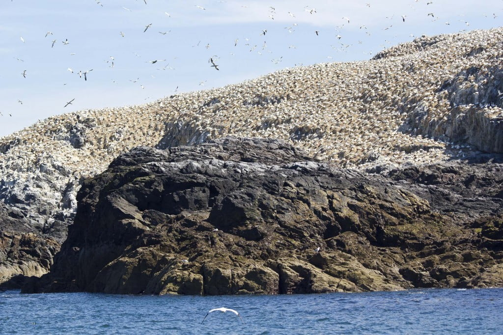 Gannets at Grassholm