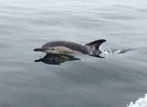 Pembrokeshire Porpoise and Dolphins