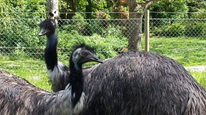 Emus at Anna's Welsh Zoo