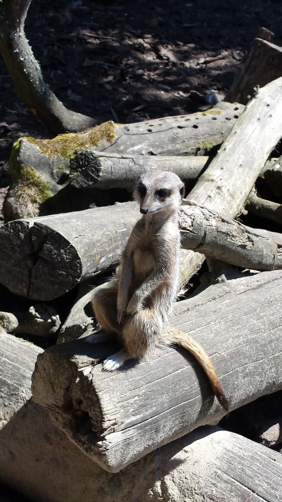 Meerkats at Anna's Welsh Zoo