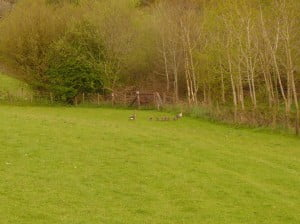 Greylag Geese near some newly planted woodlands
