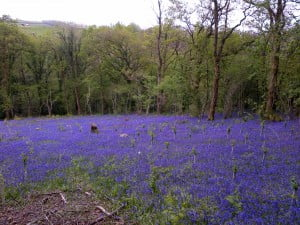 Bluebells in the woods at Old Oak Barn
