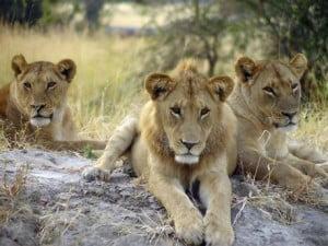 Lions at Folly Farm