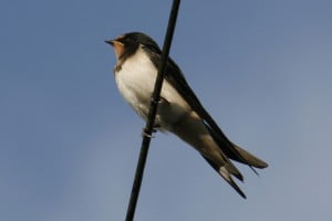 Swallow at Old Oak BArn