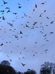 Red Kites of Carmarthenshire