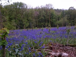 Bluebells in woods at Old Oak Barn in Wales