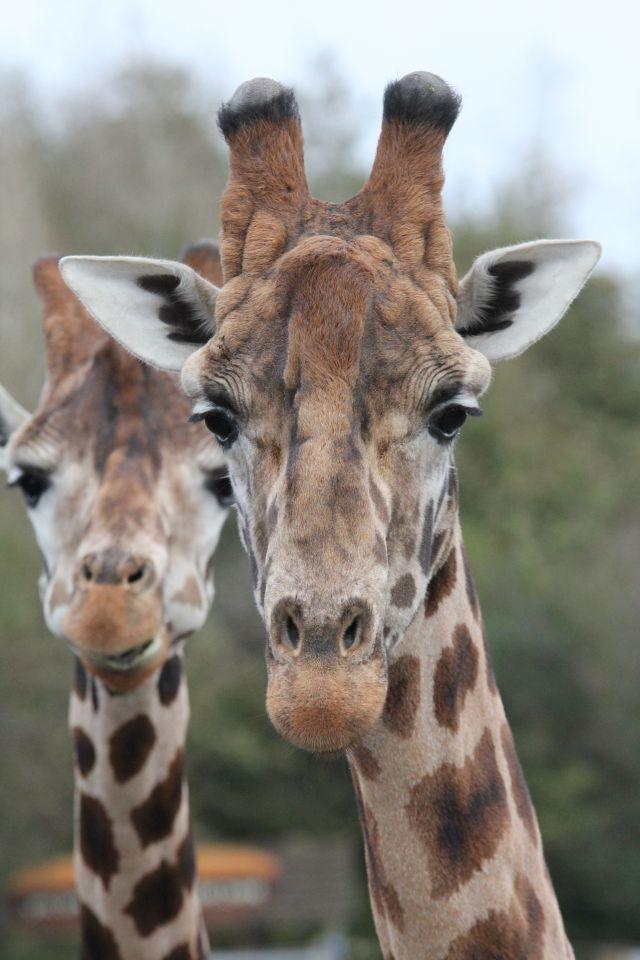 Giraffes at Folly Farm near Old Oak Barn. Best Day Out in wales winner 2015.