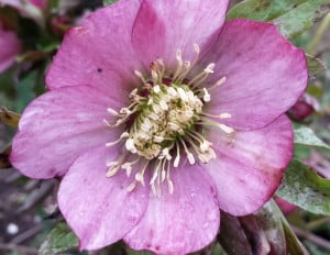 Hellebores may still be out at The Gardens of Wales this Easter
