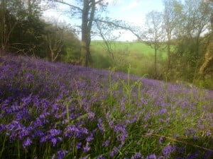 See Bluebells in Wales