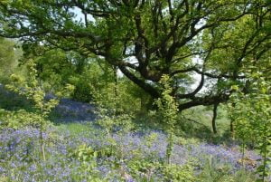 Best Places to see bluebells in Wales