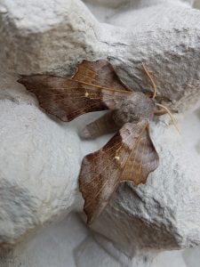 Carmarthenshire Moths